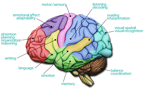 human brain diagram for kids - photo #25